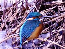 Птица цвета ультрамарин