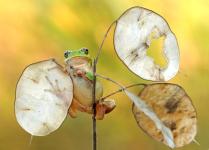 Древесный лягушонок