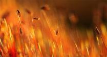 Золотой мох