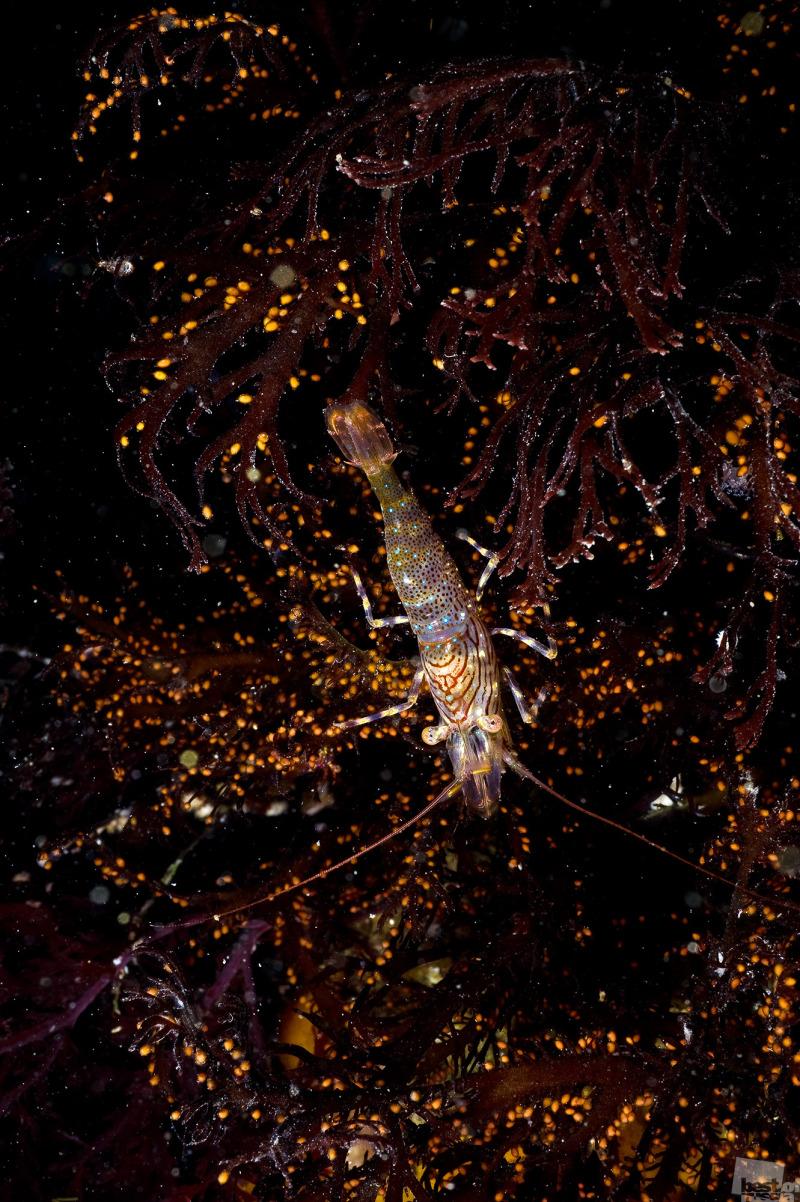 Магаданская креветка