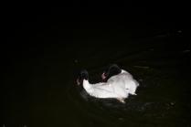 Черно-белые лебеди