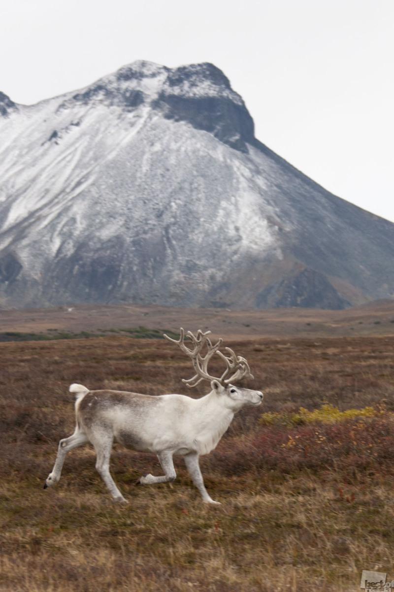 Камчатка, Северный олень в окрестностях п.Эссо