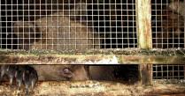 Карельский медведь из частного зоопарка