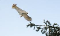 Белка -летун