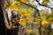 Red Squirrel in Kuzminki Forest Park