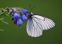 Июньская бабочка