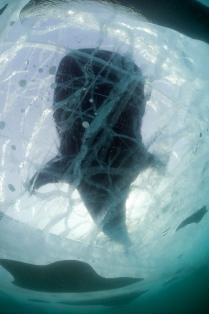 Байкальская акула