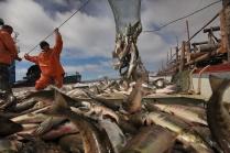 Добыча лосося на Амуре.