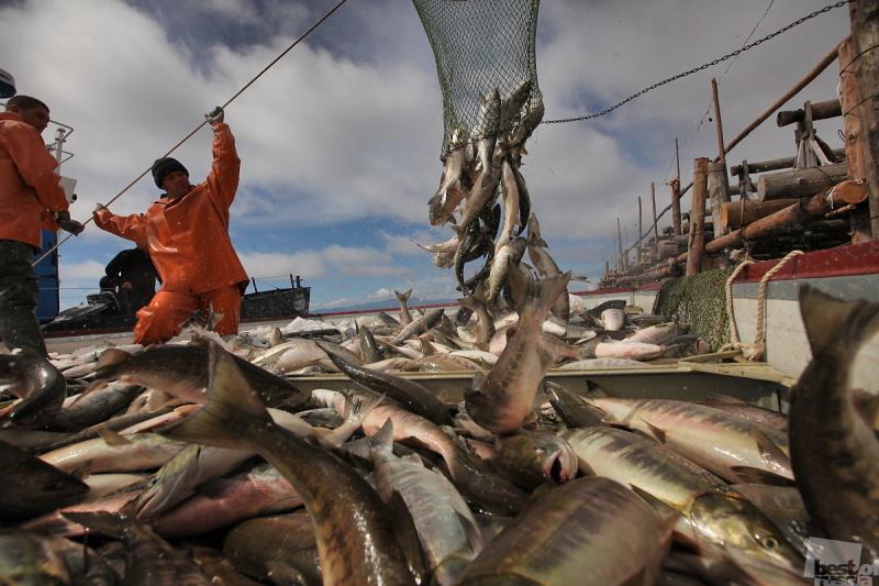 Промысел горбуши на морских участках о. Итуруп закроется