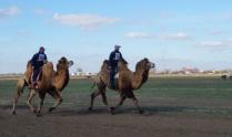 Верблюжьи бега в селе Три Протока