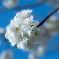 цветёт вишня...