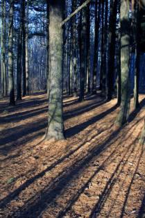 Сосновые тени