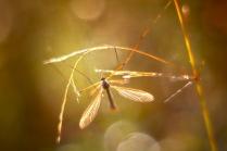 солнечный комарик
