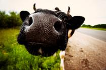 Когда коровы были большими
