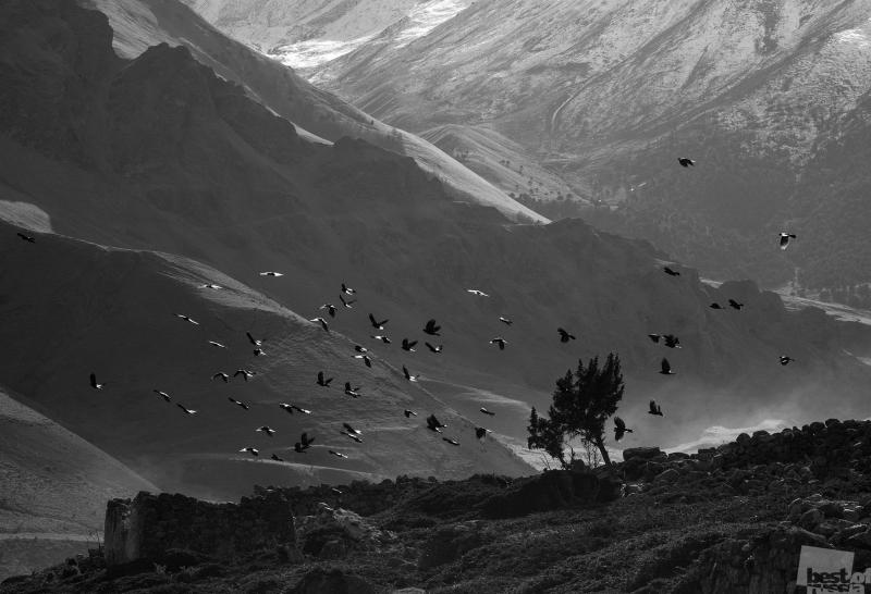 Альпийские галки