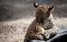 история ягуара и цыпленка