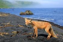 Остров Кунашир. Морская лиса.