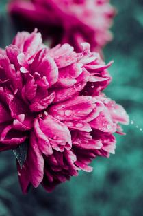 Пион в дождливый день
