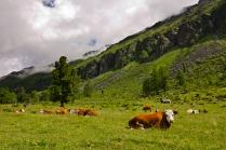 Горные коровы