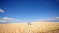 Прогулка по пшеничному полю
