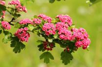 Розовое облако весны