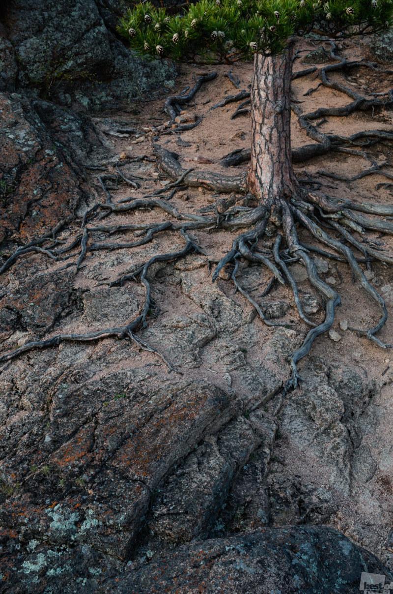 Корни живого дерева
