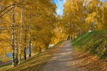 Березовая роща осенью.
