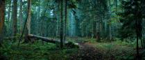 Туманы старого леса
