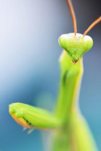 Симпатичная самка богомола ищет самца с головой на плечах