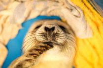 Детеныш серого тюленя в Центре реабилитации морских млекопитающих