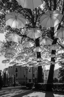 Зонтичное дерево