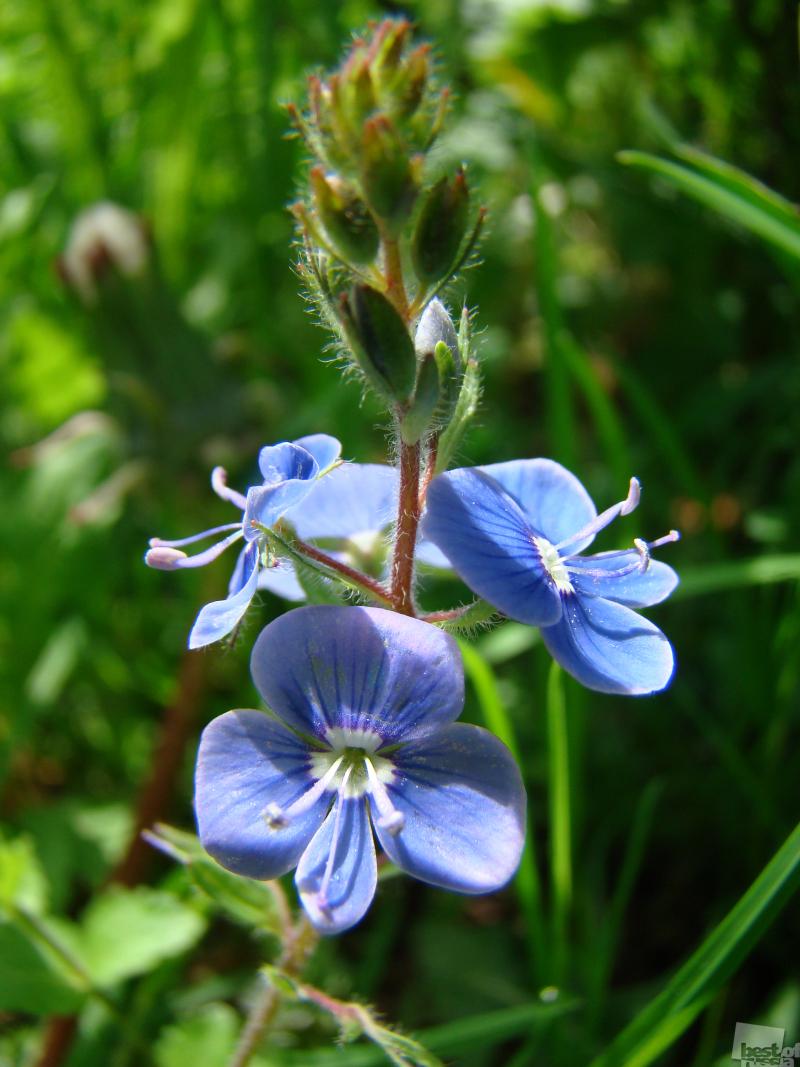 полевой цветок фото название