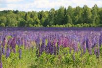 Люпиновые поля Смоленской области