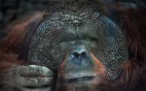 взгляд орангутана