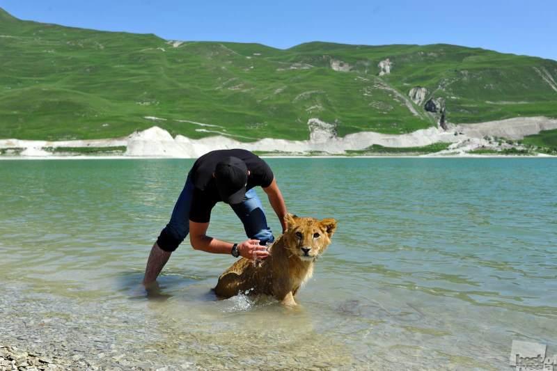 Чеченец купает льва