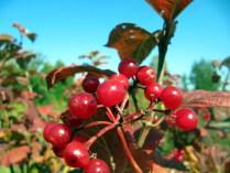 """""""Как манит гроздьями нас куст калины красной..."""""""
