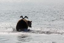 Медведи учатся летать