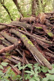 леса дремучие