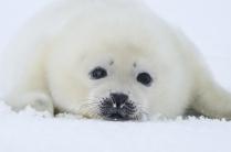 Белёк - детеныш гренландского тюленя