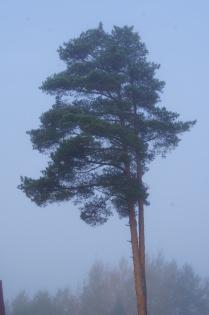 Утро. Туман. Сосна.