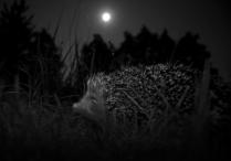Еж в лунную ночь