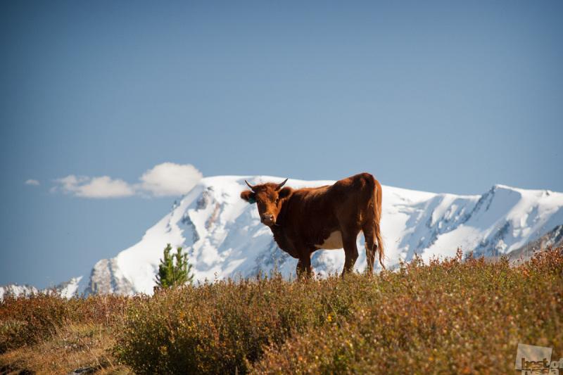 Алтайская коровка.