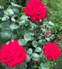 Розы с любовью