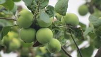 Природа , яблоки