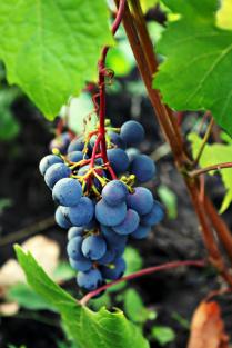 В Сибири тоже растет виноград
