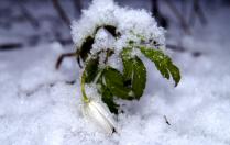 Подснежник под снегом