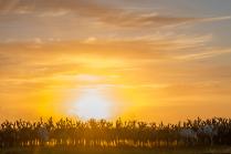 Олени в закатном солнце