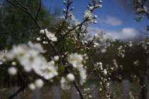 Цветение вишни.
