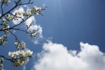 Цветение вишни на фоне неба.