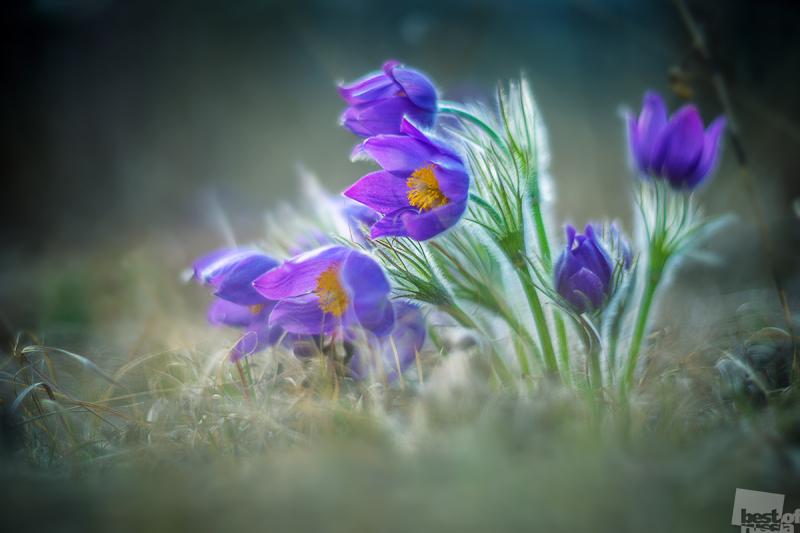 Сон трава